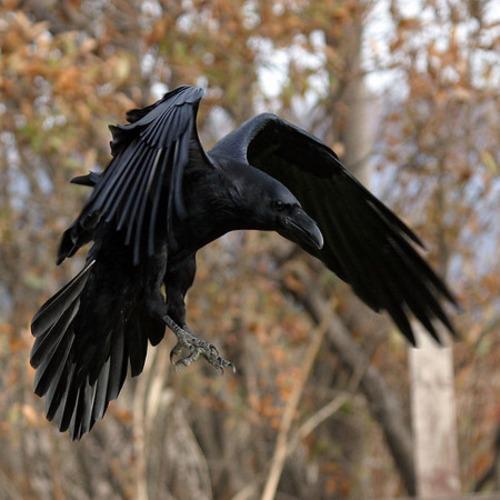 Vuelo de la Esfinge - Fantasia Gotica cuervo
